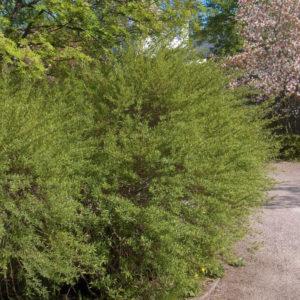 Ива пурпурная «Nana» - Salix purpurea «Nana»