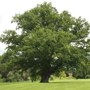 Дуб черешчатый - Quercus robur