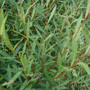 Ива пурпурная - Salix purpurea