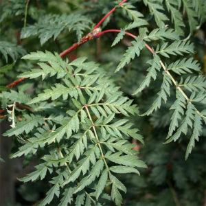 Рябина обыкновенная «Asplenifolia» - Sorbus aucuparia «Asplenifolia»