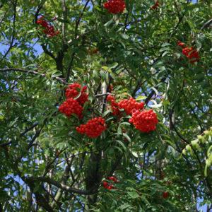 Рябина обыкновенная съедобная - Sorbus aucuparia var. edulis