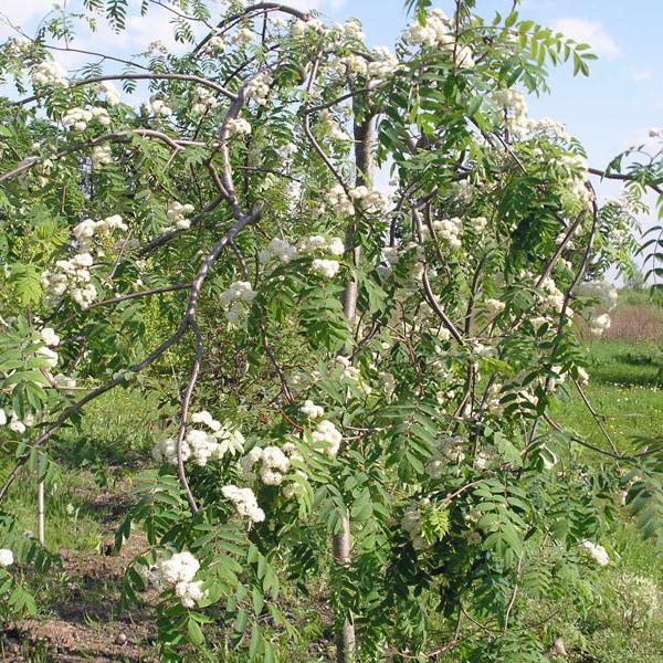 Рябина обыкновенная «Pendula» - Sorbus aucuparia «Pendula»