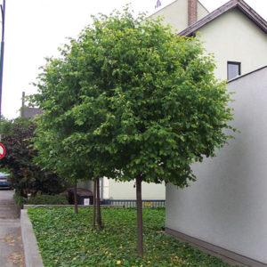 Липа мелколистная «Green Globe» - Tilia cordata «Green Globe»