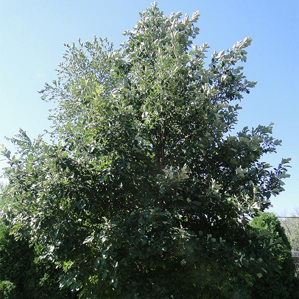 Дуб крупноплодный - Quercus macrocarpa