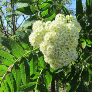 Рябина обыкновенная «Sheerwater Seedling» - Sorbus aucuparia «Sheerwater Seedling»