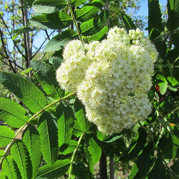 Рябина обыкновенная «Sheerwater Seedling» - Sorbus aucuparia «Sheerwater Seedling»