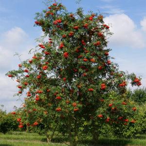 Рябина обыкновенная - Sorbus aucuparia