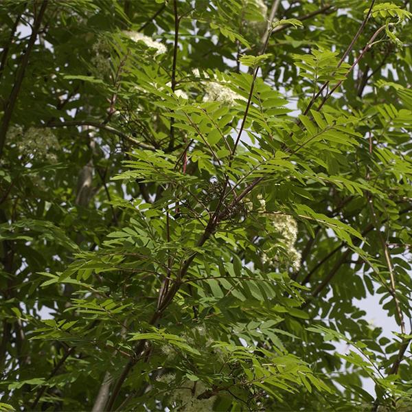 Рябина обыкновенная «Rossica Major» - Sorbus aucuparia «Rossica Major»