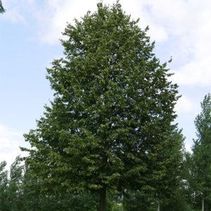 Липа мелколистная «Greenspire» - Tilia cordata «Greenspire»