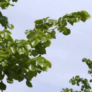 Липа европейская «Euchlora» - Tilia x europaea «Euchlora»