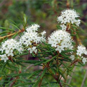 Багульник болотный - Ledum palustre