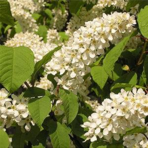 Черемуха обыкновенная «Nana» - Prunus padus «Nana»