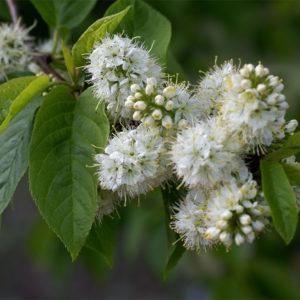 Черемуха Маака - Prunus maackii