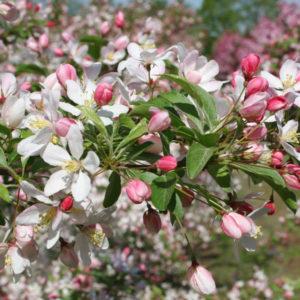 Яблоня торинго - Malus toringo