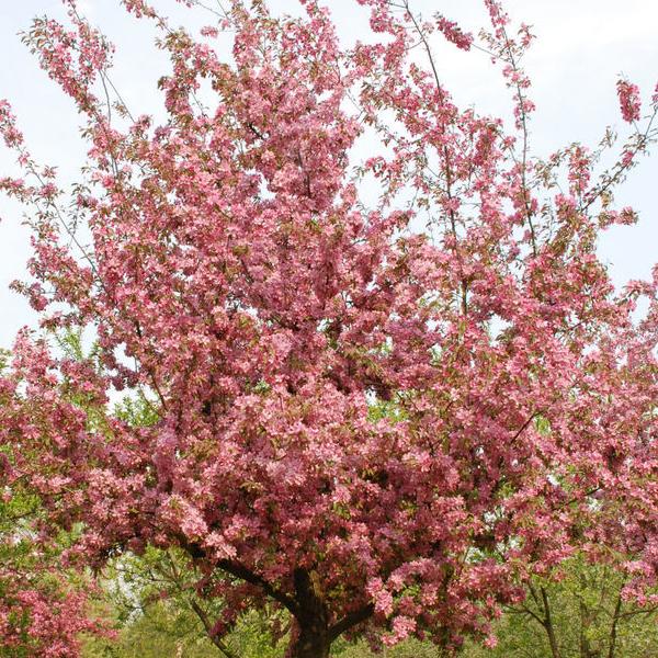 Яблоня «Hopa» - Malus «Hopa»