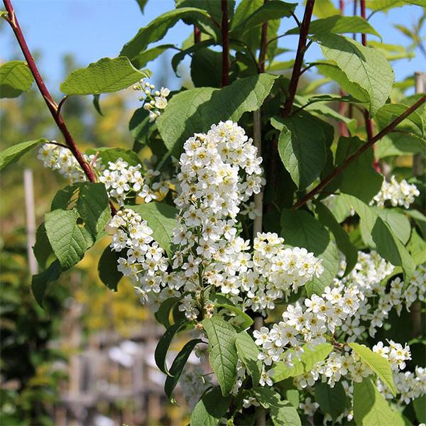 Черемуха обыкновенная «Watereri» - Prunus padus «Watereri»