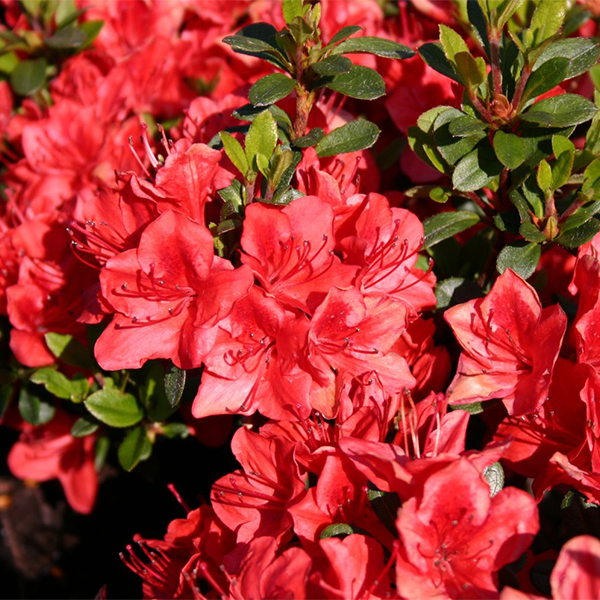 Рододендрон тупой «Fridoline» - Rhododendron obtusum «Fridoline»