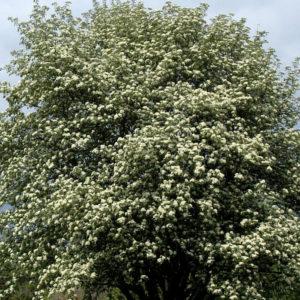 Рябина промежуточная - Sorbus intermedia