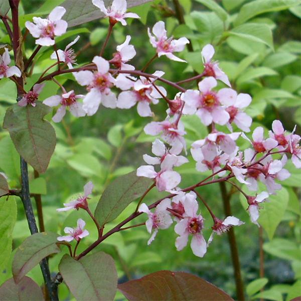 Черемуха обыкновенная «Colorata» - Prunus padus «Colorata»