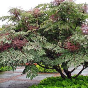 Аралия маньчжурская пестрая - Aralia mandshurica f. variegata