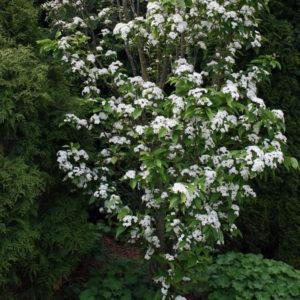 Рябина ольхолистная - Sorbus alnifolia