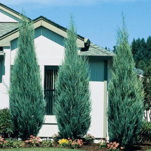 Можжевельник скальный «Skyrocket» - Juniperus scopulorum «Skyrocket»