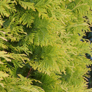 Туя западная «Yellow Ribbon» - Thuja occidentalis «Yellow Ribbon»