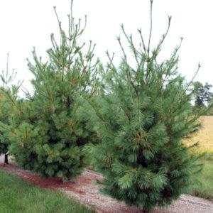 Сосна веймутова - Pinus strobus