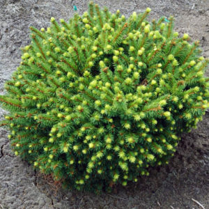 Ель обыкновенная «Zagwizdze» - Picea abies «Zagwizdze»