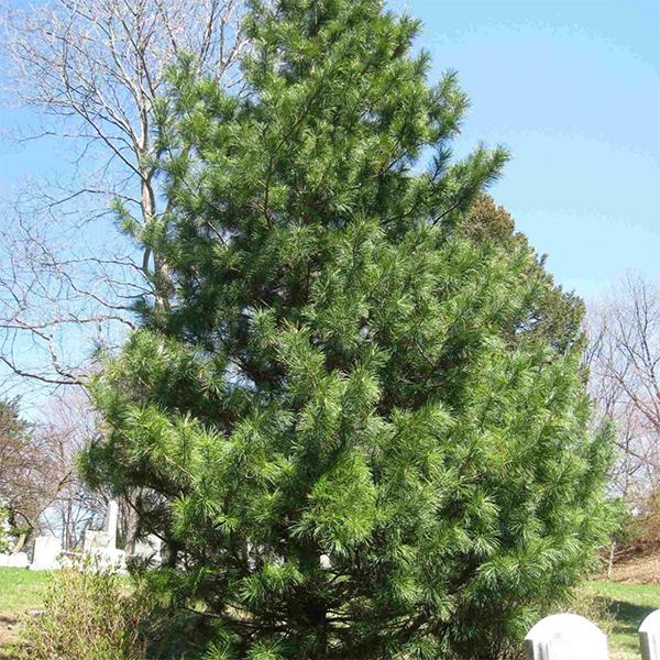 Сосна корейская - Pinus koraiensis