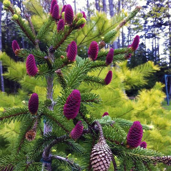 Ель обыкновенная «Acrocona» - Picea abies «Acrocona»