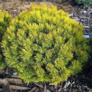 Сосна горная «Carsten» - Pinus mugo «Carsten»