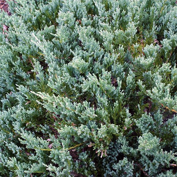 Можжевельник горизонтальный «Blue Chip» - Juniperus horizontalis «Blue Chip»