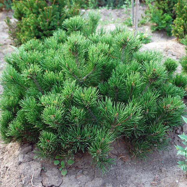 Сосна горная мугус - Pinus mugo var. mughus