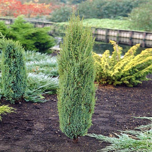 Можжевельник обыкновенный «Arnold» - Juniperus communis «Arnold»