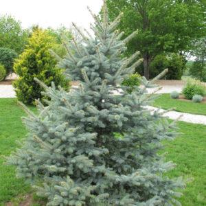 Ель колючая «Koster» - Picea pungens «Koster»