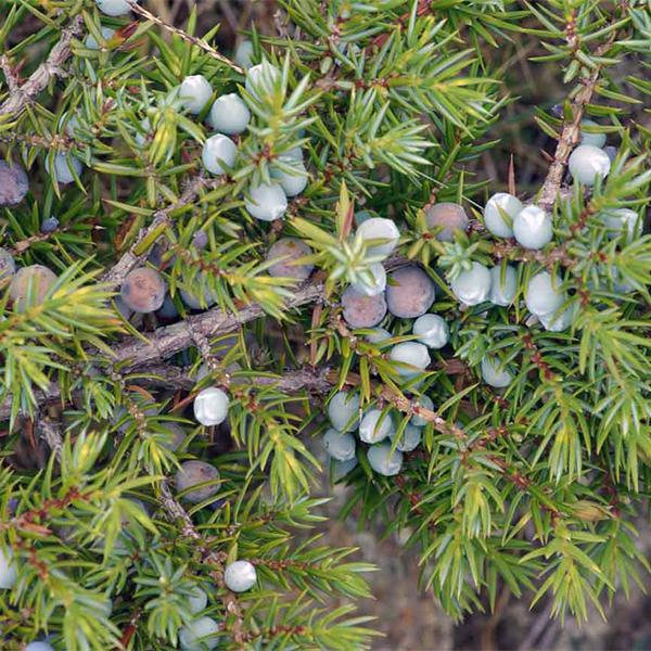 Можжевельник обыкновенный - Juniperus communis