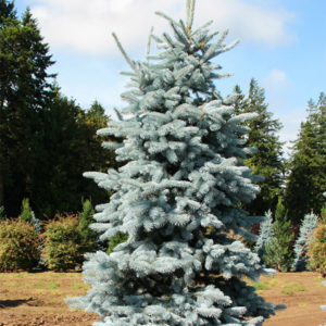Ель колючая «Hoopsii» - Picea pungens «Hoopsii»