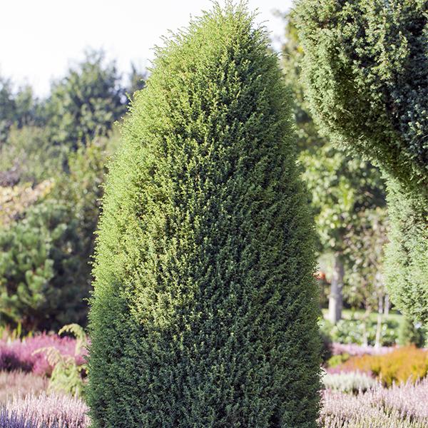Можжевельник обыкновенный «Hibernica» - Juniperus communis «Hibernica»
