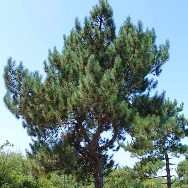 Сосна Палласа - Pinus nigra subsp. pallasiana