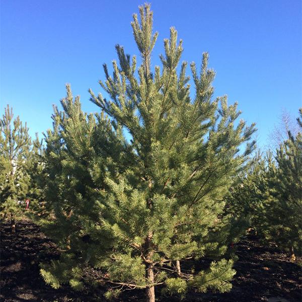 Сосна обыкновенная - Pinus sylvestris