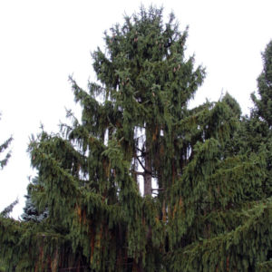 Ель обыкновенная «Cranstonii» - Picea abies «Cranstonii»