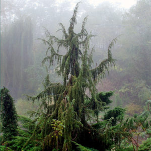 Можжевельник обыкновенный «Horstmann» - Juniperus communis «Horstmann»