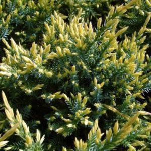 Можжевельник чешуйчатый «Holger» - Juniperus squamata «Holger»