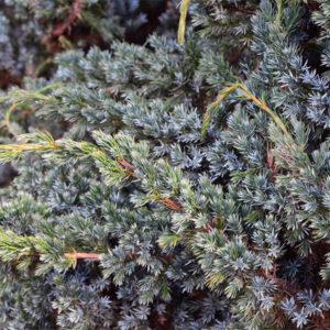Можжевельник чешуйчатый «Meyeri» - Juniperus squamata «Meyeri»