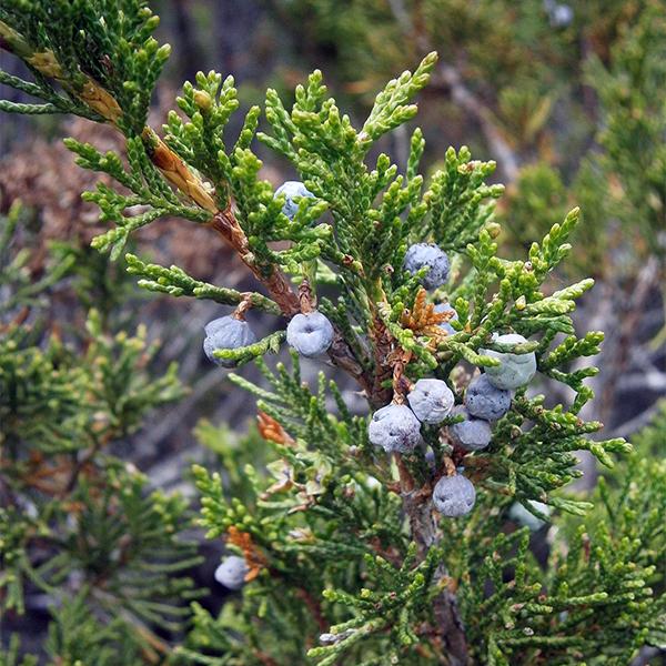 Можжевельник казацкий - Juniperus sabina
