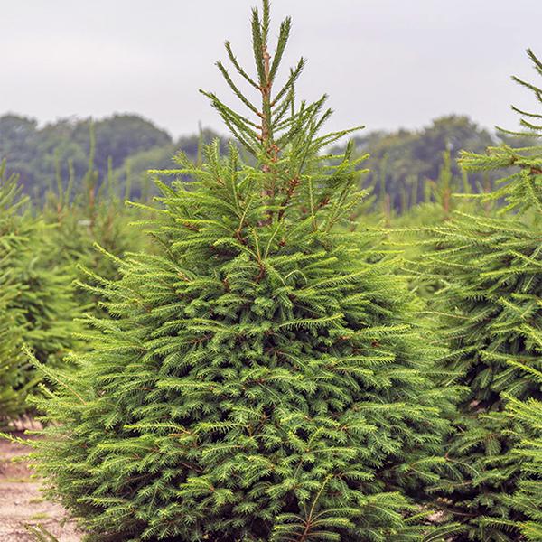 Ель обыкновенная - Picea abies