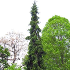 Ель сербская повислая - Picea omorika f. pendula