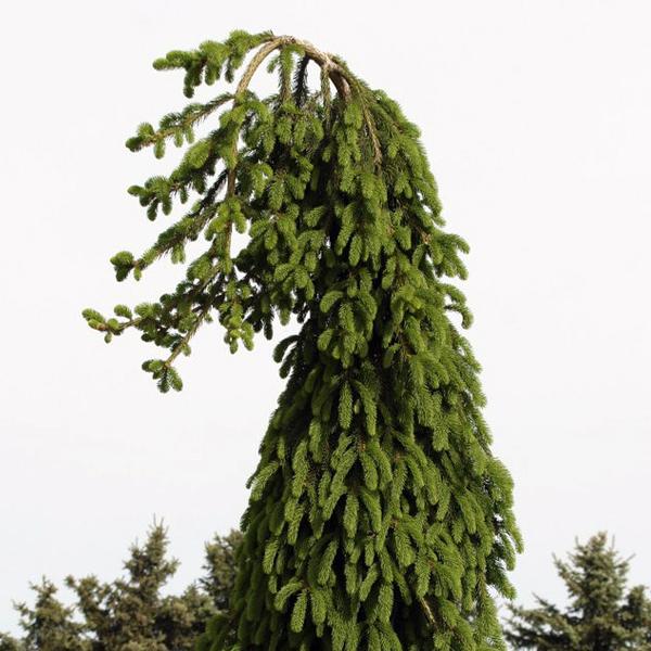 Ель обыкновенная «Frohburg» - Picea abies «Frohburg»