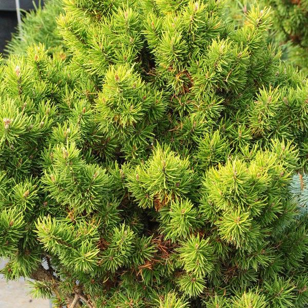 Сосна Банкса - Pinus banksiana